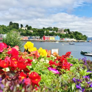 Multi-coloured buildings around harbour of Tobermory on Isle of Mull with colourful flowers in foreground