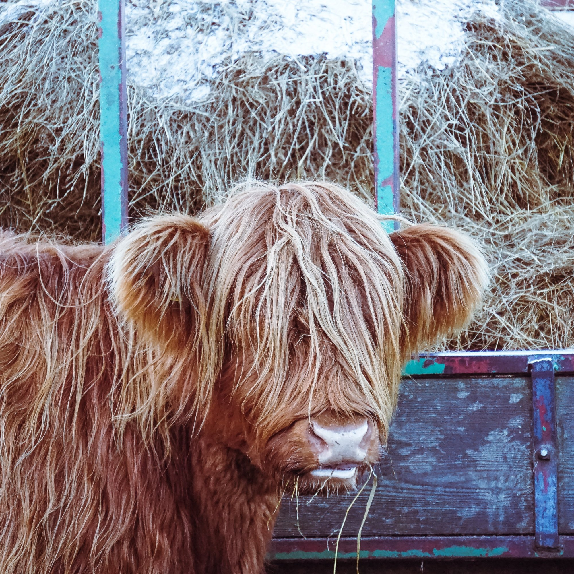 Meet a Highland cow on our private tours of Scotland