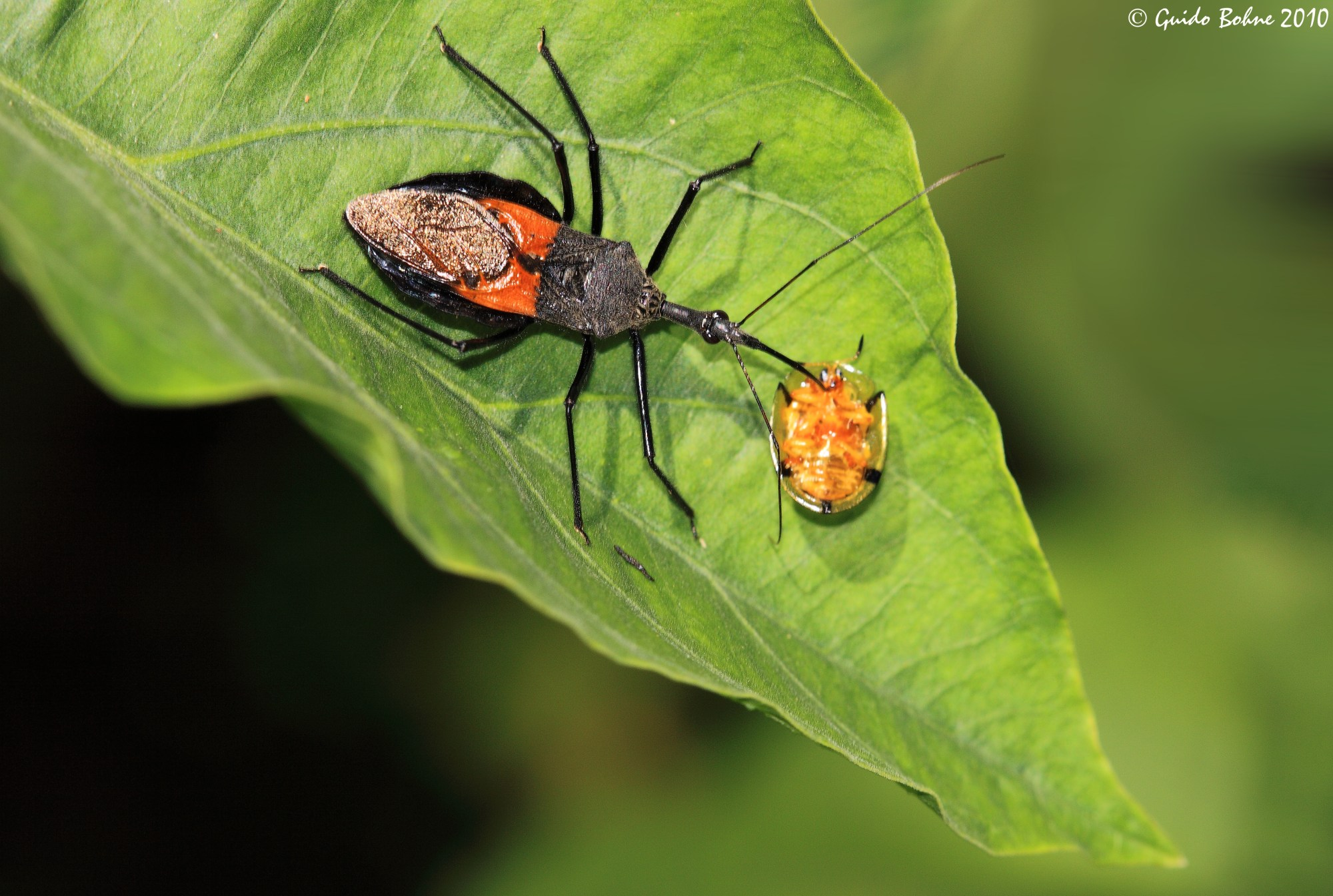 hight resolution of assassin bug exhausts a tortoise beetle 5070517021