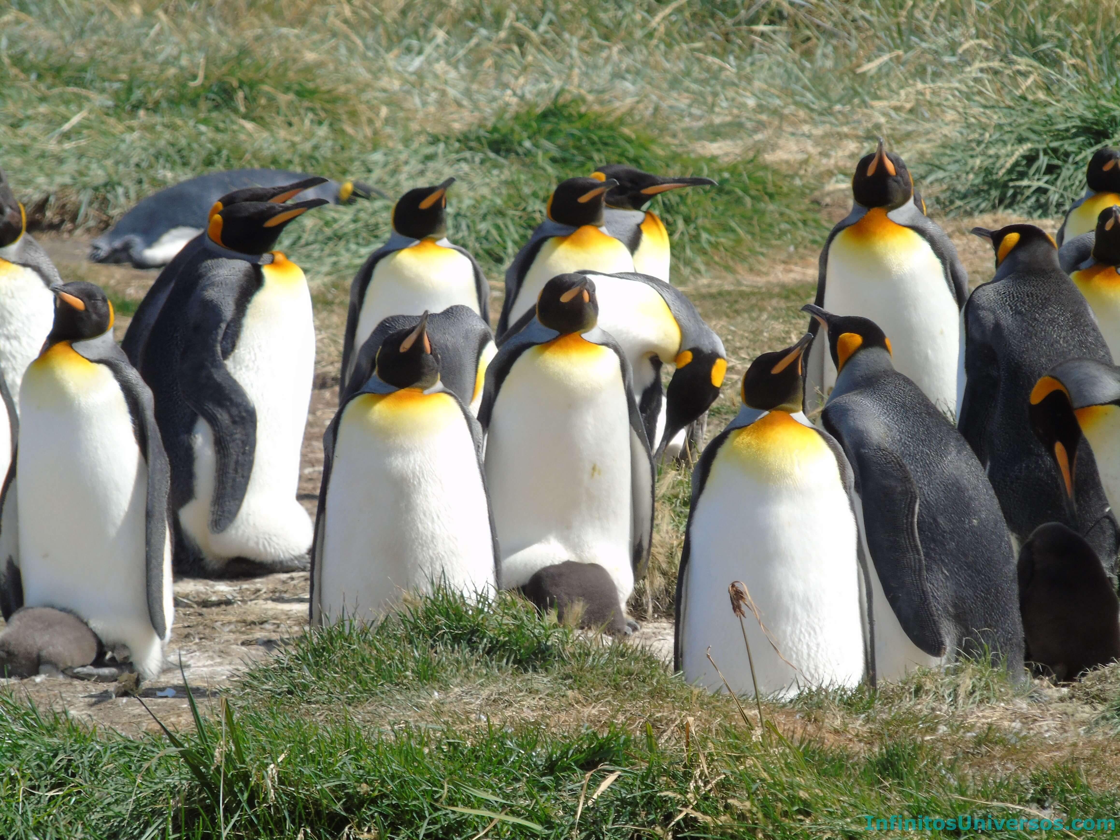 tierra del fuego pinguino rey patagonia