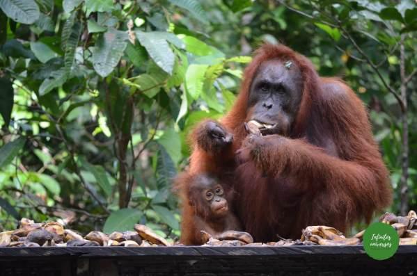Visita a la Reserva de orangutanes en Borneo (Indonesia): Tanjung Puting National Park