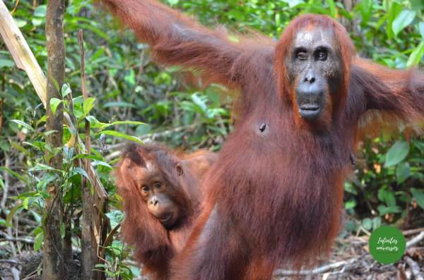 Orangutanes en Tanjung Puting Java y Borneo