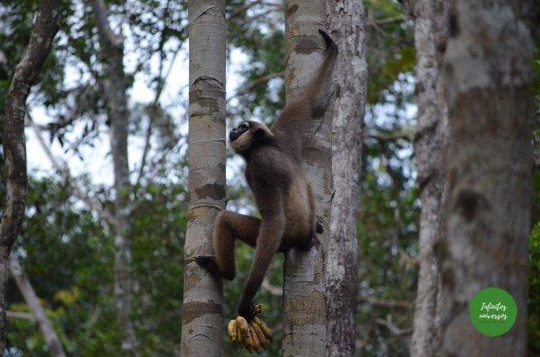 Gibón en Tanjung Puting