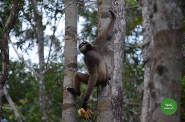 Gibón en Tanjung Puting n borneo orangutanes en borneo
