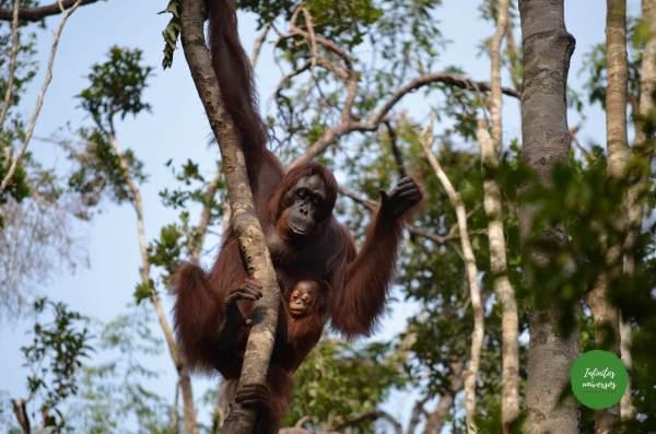 Orangutanes en Tanjung Puting orangutanes en borneo