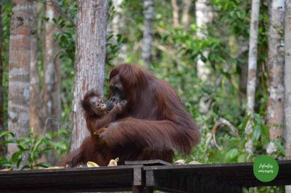 Orangutanes en Tanjung Puting  - Viaje a Indonesia en 2 semanas