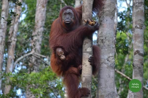 borneo Java y Borneo