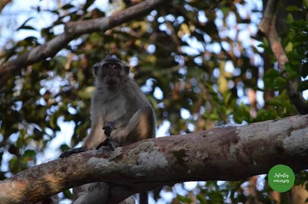 Macaco en Tanjung Puting orangutanes en borneo