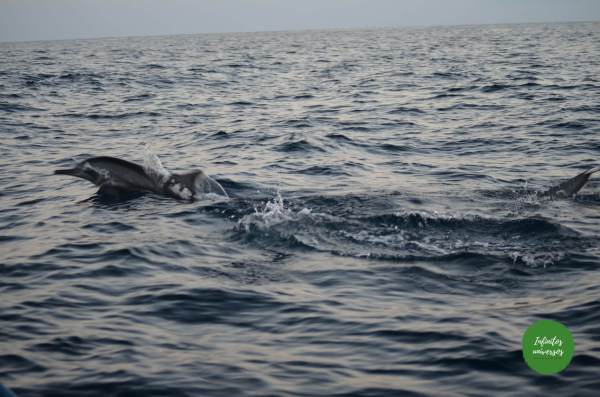 Delfines en Lovina bali que ver