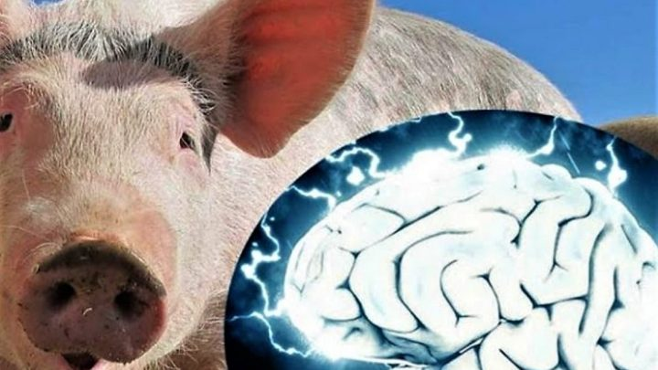 Scientists revived the brains of pigs who died a few hours ago