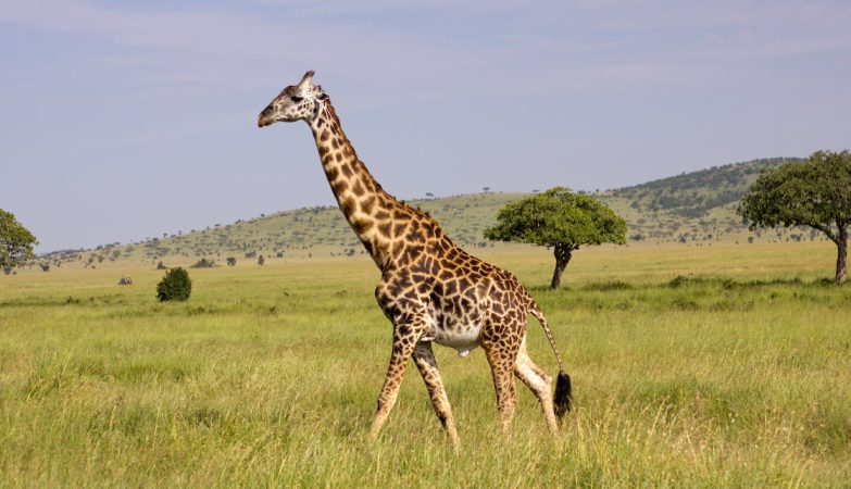 giraffe-parafulmini