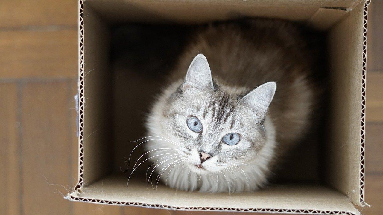gatto-scatola
