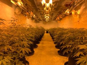 transplanting cannabis with infinitypot
