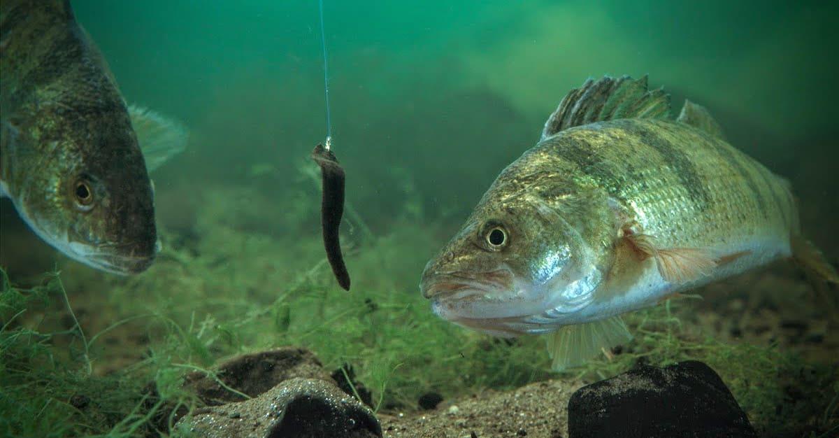Perch Fishing 101: Top Tips for Catching Perch