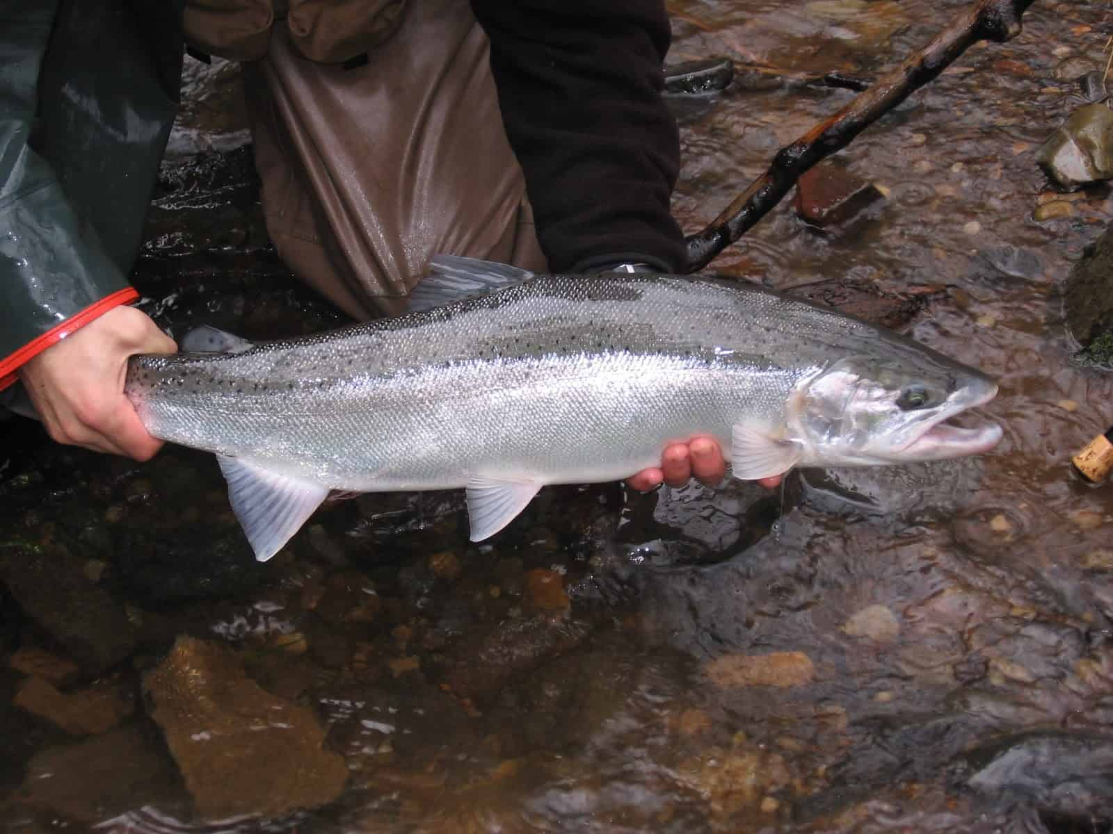 Steelhead Fishing 101: How to Catch Steelhead