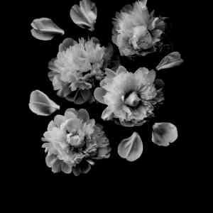 Affiche poster végétal, Paeonia officinalis