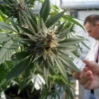 От каких болезней лечит марихуана