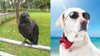 カラス vs 犬