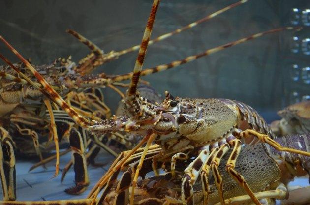 Hummer - Der Fang dieser Delikatessen aus Zeeland ist streng geregelt.