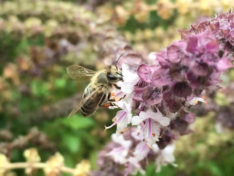 Dark Honey Bee on African Blue Basil