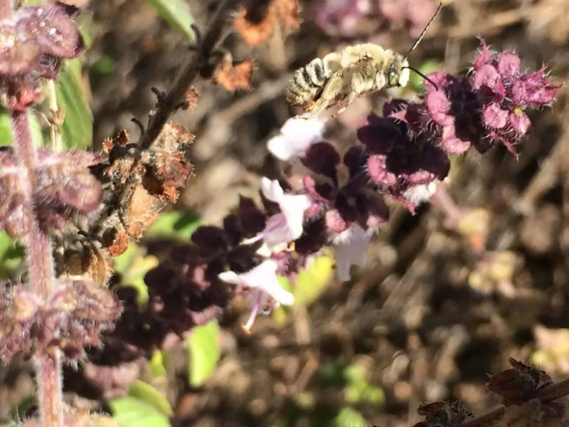 Mystery Bee on African Blue Basil