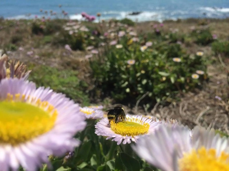 Western Bumblebee in Coastal California