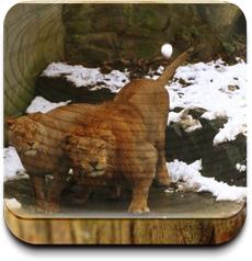 杭州動物園獅山,遊客向獅子扔雪球取樂
