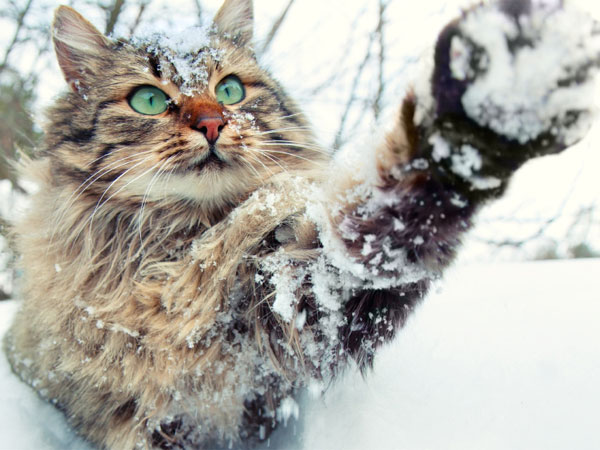 long-haired-cat-snow-istock-600