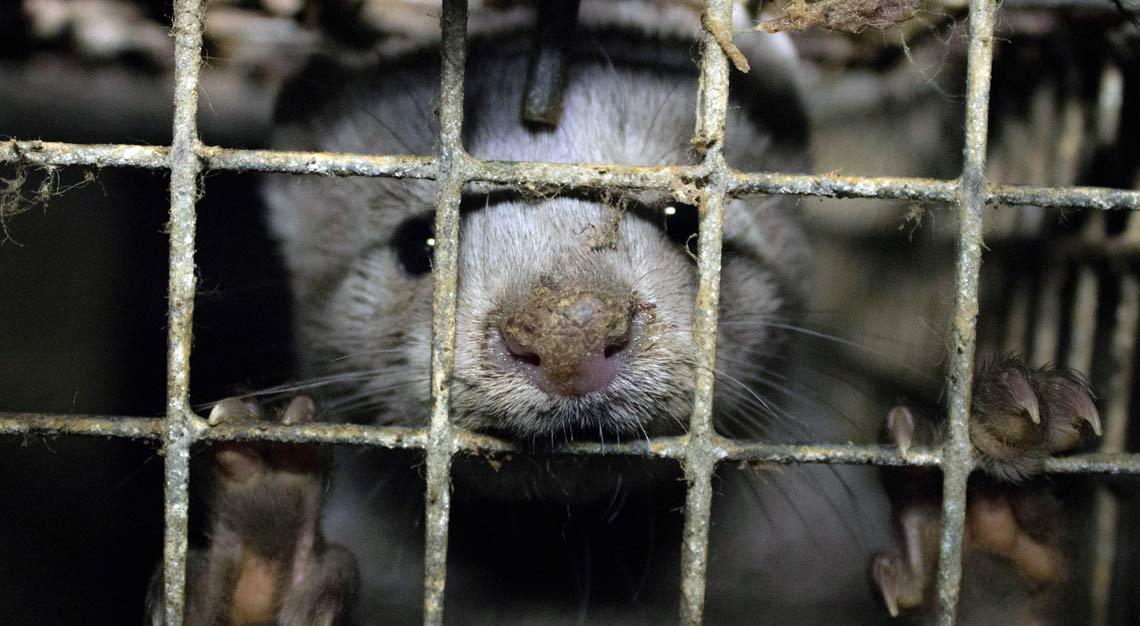 Auf Pelzfarmen leiden Nerze in winzigen Käfigen.