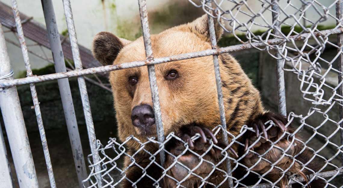 Raus aus dem Käifg: VIER PFOTEN befreit zwei Bären aus Albanien.