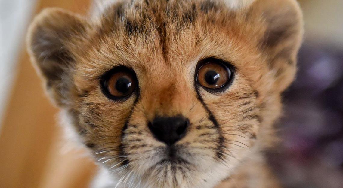 © Matt Suiche | Cheetah Conservation Fund