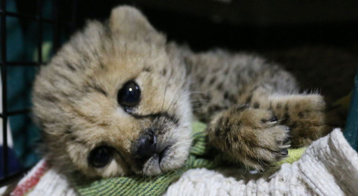 © Laura Orozco | Cheetah Conservation Fund