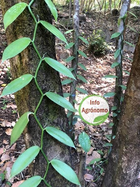 Orquidea vainilla planta venta