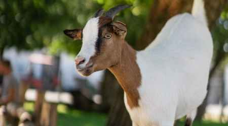 white and brown goat on brown wooden fence