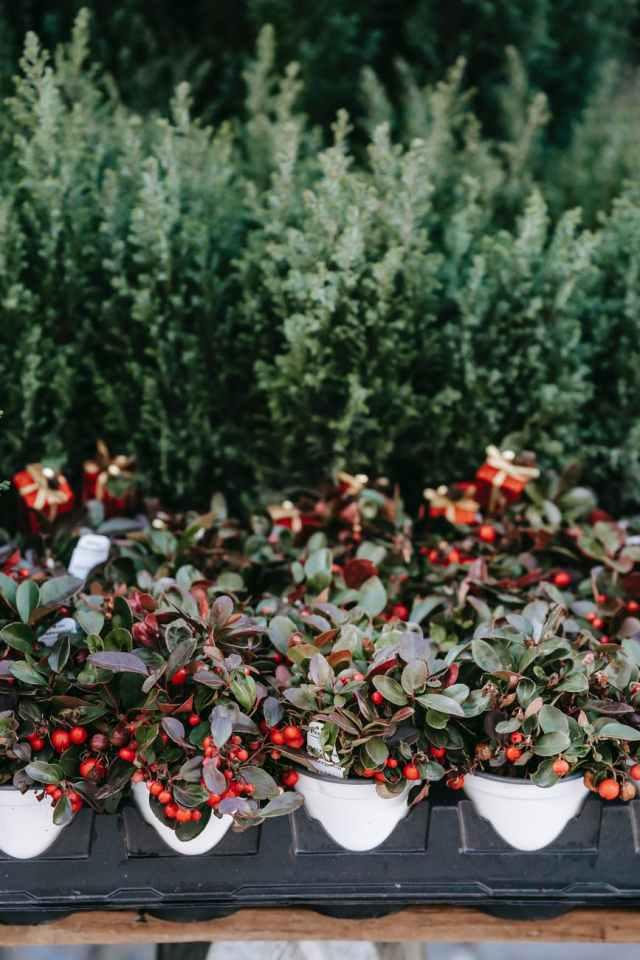 tender wintergreen plants presented on market stall