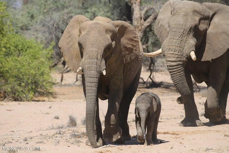 Cette étude montre l'adaptabilité du plus grand mammifère terrestre pour adapter son comportement avec souplesse afin de rester en sécurité