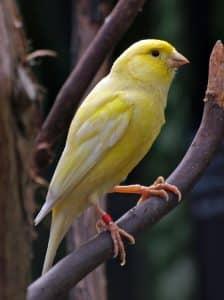 Una de las aves permitidas es el canario