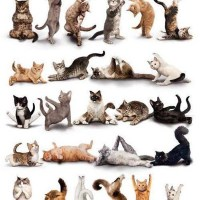 Yoga Cats Doing Various Yoga Poses