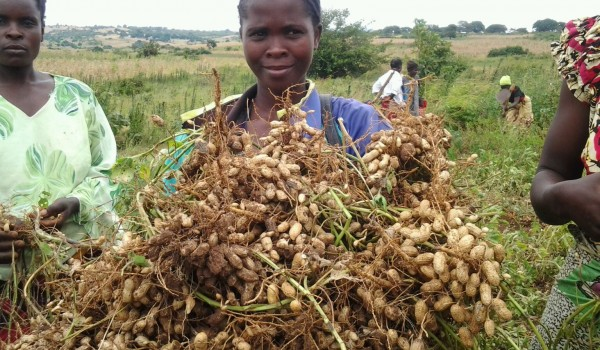 How profitable in groundnut farming in nigeria