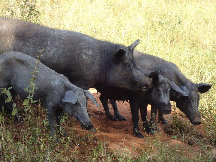 cerdo-pelc3b3n-1