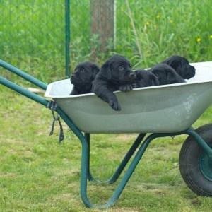 cuccioli di labrador prezzo
