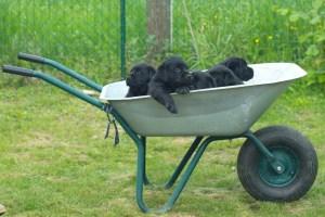 prezzo di un labrador i cuccioli di razza quanto si devono pagare?