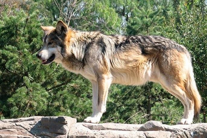 Podemos insta al Gobierno a derogar la orden que permite las batidas de lobos