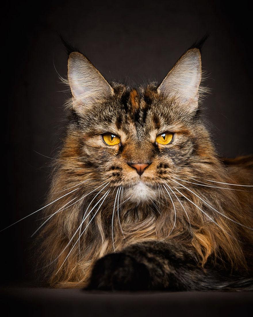 maine-coon-cat-photography-robert-sijka_25