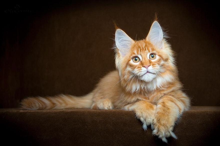 maine-coon-cat-photography-robert-sijka_26