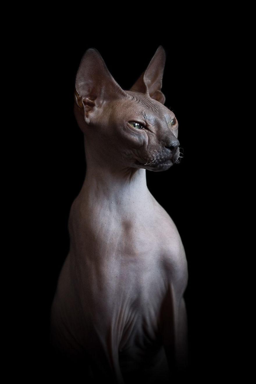 sphynx-cat-photos-by-alicia-rius-25__880