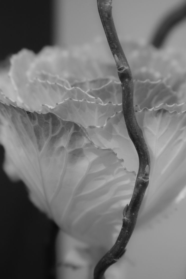 293b229a90ea2fc1aa80505e56664217--imogen-cunningham-cabbage-roses