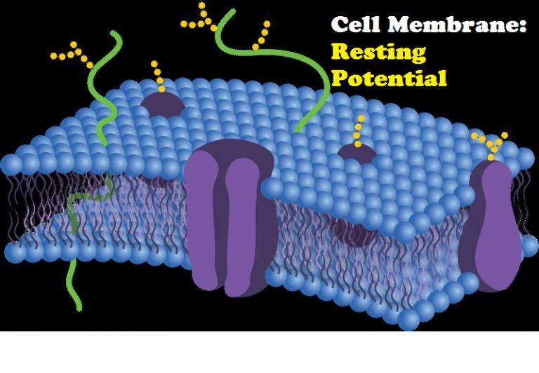 Resting Membrane Potential - Because Health Matters