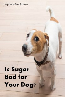 Is Sugar Bad for Your Dog ?
