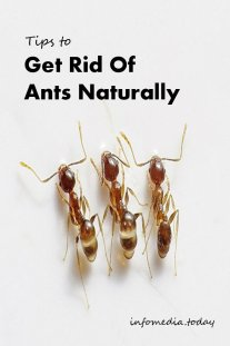 Tips to Get Rid of Ants Naturally